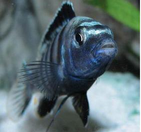 As escamas azuis intensificaram-se bastante, as escamas negras também e a parte negra da barbatana dorsal engrossou bastante nesta fase final. O peixe apresenta agora todo o seu esplendor com a coloração de um macho adulto dominante.